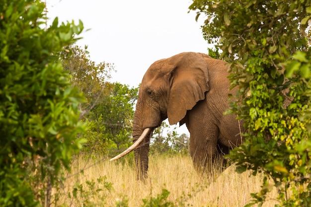 Portret wielkiego słonia meru kenia