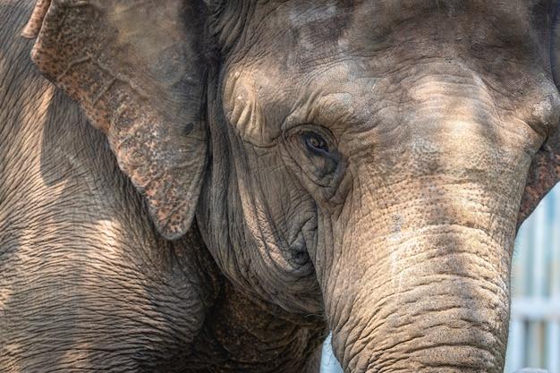 Portret wielkiego słonia w zoo