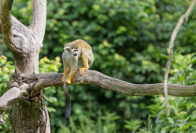 Portret wiewiórczej małpy saimiri sciureus obsiadanie na gałąź
