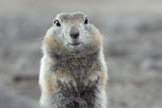 Portret wiewiórki arktycznej. śliczne ciekawe dzikie zwierzę z rodzaju średnich gryzoni z rodziny wiewiórek. eurazja, rosyjski daleki wschód, kamczatka.