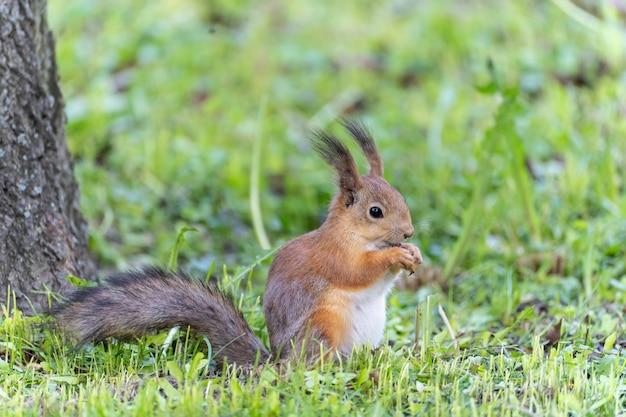 Portret wiewiórki siedzącej na trawie podczas jedzenia orzecha w parku