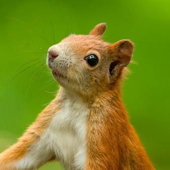 Portret wiewiórki w lesie