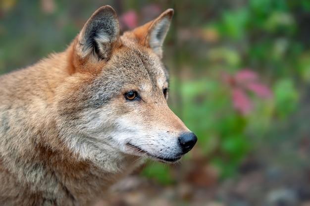 Portret wilka leśnego w jesiennym lesie