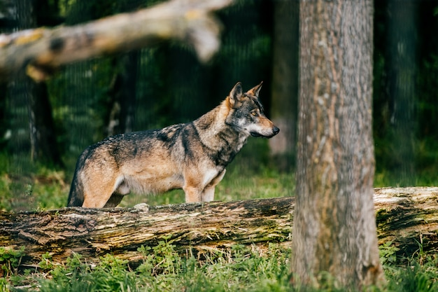 Portret wilka na zewnątrz. dziki drapieżnik drapieżny w naturze po polowaniu.