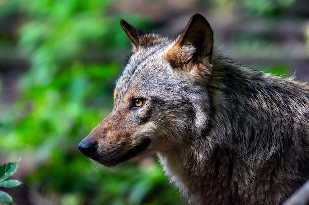 Portret wilka w lesie