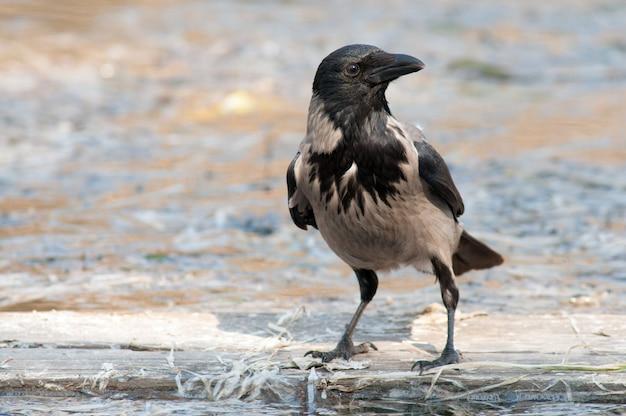 Portret wrona z kapturem