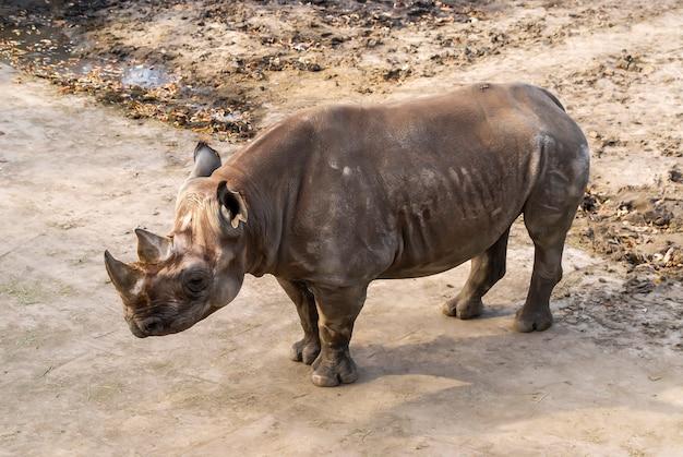 Portret wschodniego nosorożca czarnego