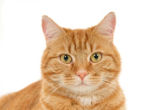Portret wyglądający rudy kot. białe tło.