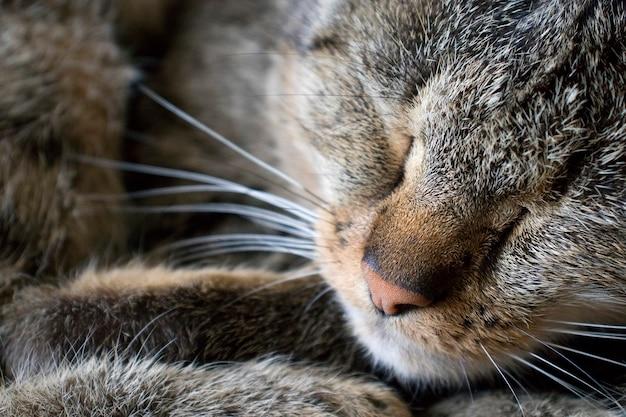 Portret z bliska wąsy i nos śpiącego kota.