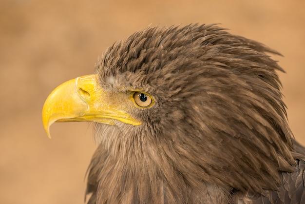 Portret z boku orła brązowego w zoo