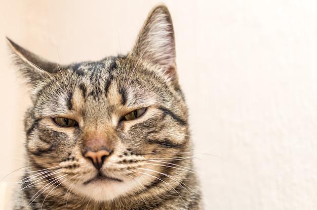 Portret z pyska z bliska niezadowolonego kota.