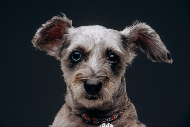 Portret zabawny pies szary z wielobarwnymi oczami