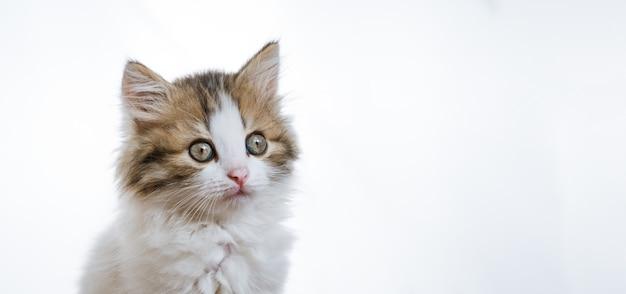 Portret zabawny puszysty kotek na białej ścianie