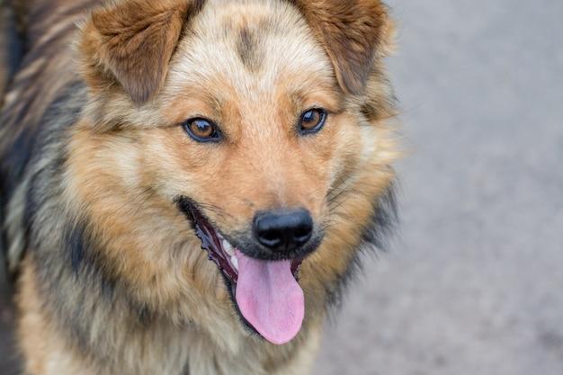 Portret zbliżenie brązowy pies z otwartymi ustami i językiem