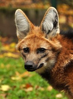 Portret zbliżenie czerwony wilk grzywiasty na charakter w zoo, łotwa