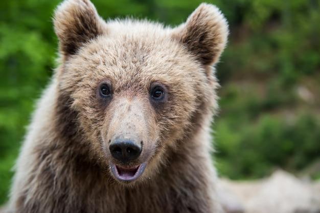 Portret zbliżenie niedźwiedź brunatny (ursus arctos) w wiosennym lesie