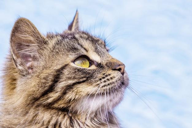 Portret zbliżenie w profilu szare paski puszysty kot _