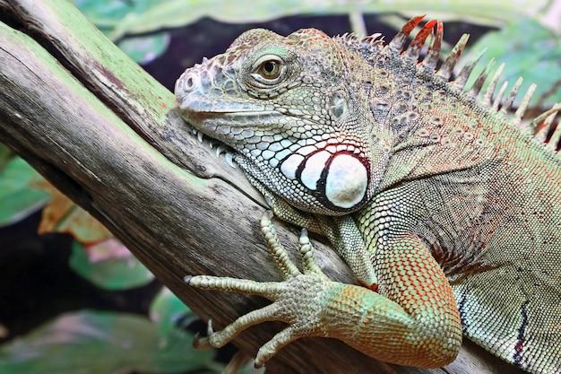 Portret zbliżenie zielona iguana. dzikiej przyrody
