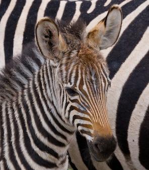Portret zebry. zbliżenie. kenia. tanzania. park narodowy. serengeti. masajowie mara.