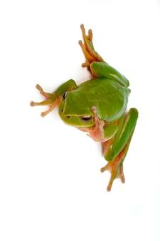 Portret zielona żaba. pojedynczo na białym tle