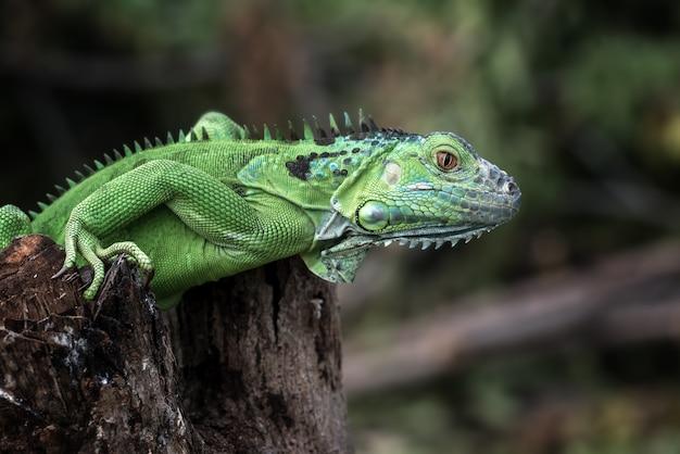 Portret zielonego legwana w jasnych kolorach