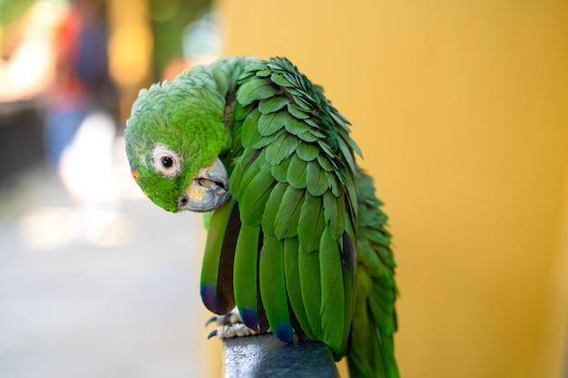 Portret zielony papuga szczegół.