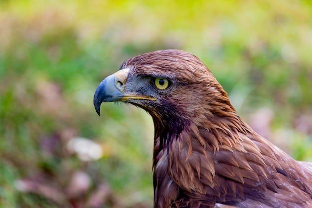 Portret złotego orła