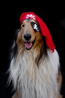 Portret złotego psa collie w stroju pirata na białym tle na czarnym tle