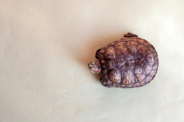 Portret żółwia czerwonolicy na zielonym tle
