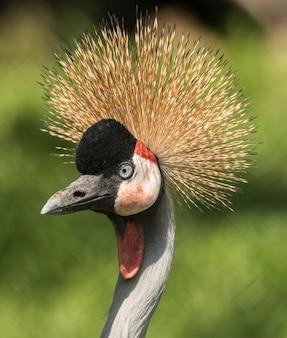 Portret żurawia mandżurskiego