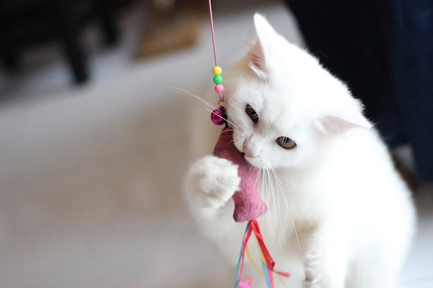 Portret zwierzaka białego kota grającego w domu w salonie / zamknij się z pięknym i uroczym białym kotem perskim