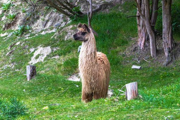 Portret zwierzaka. guanako. wyspa południowa, nowa zelandia