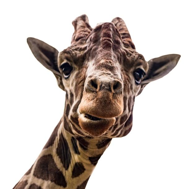 Portret żyrafa