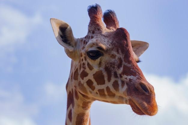 Portret żyrafy (giraffa camelopardalis) to afrykański ssak parzystokopytny. śmieszna żyrafa wychodzi z chmur. śliczna głowa żyrafy na tle błękitnego nieba wygląda na szczęśliwą