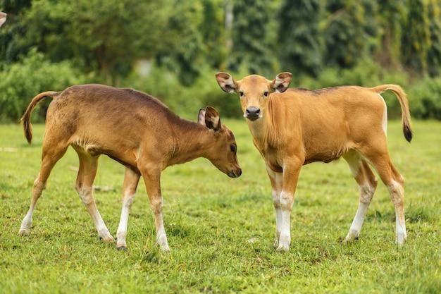 Portreta balijczyka koloru brązu krowy pasanie w łące.