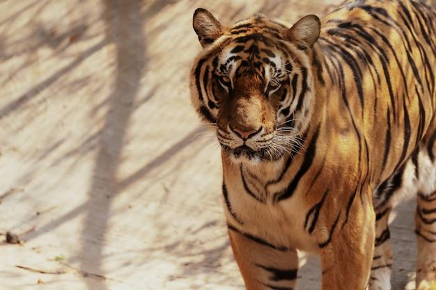 Portreta bengal tygrys stoi patrzeć