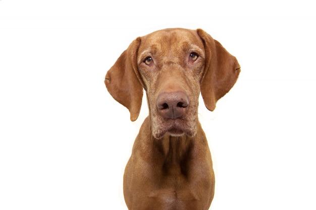 Portreta ogara pointeru vizsla pies odizolowywający na bielu