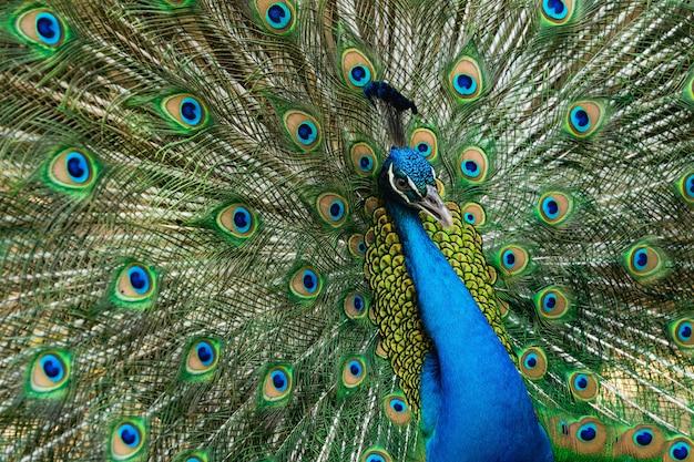 Portreta paw z pięknym kolorowym piórkiem