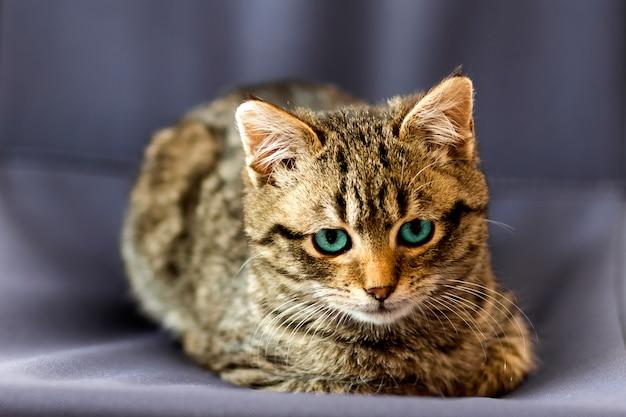Portreta zakończenia obrazek na małym kocie z niebieskimi oczami