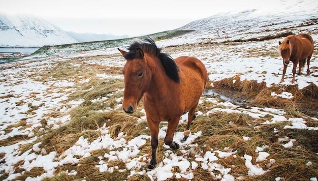 Portrety islandzkich koni wyścigowych na ośnieżonej górze, chronione zwierzęta rasowe.
