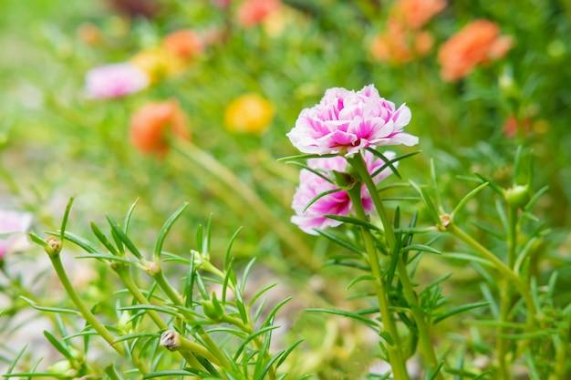 Portulaka kwiat tło