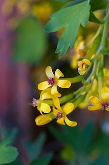 Porzeczka kwitnąca z małymi żółtymi kwiatami