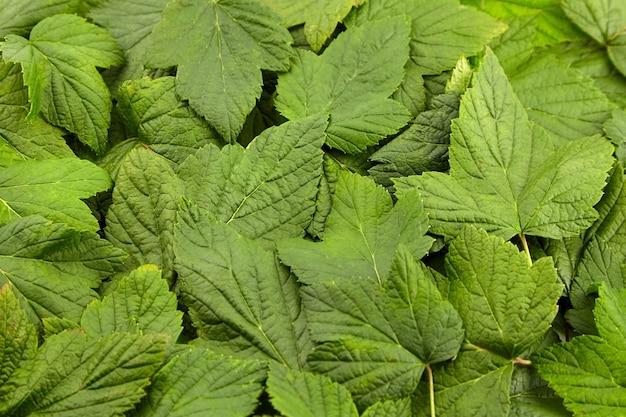 Porzeczka pozostawia zielone świeże liście