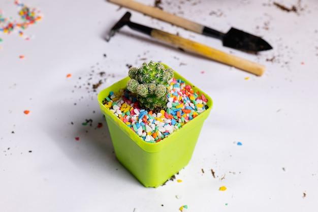 Posadź kaktus w małych doniczkach. dodaj kolorowe kamienie, aby uzyskać piękno i gotowe do pływania.