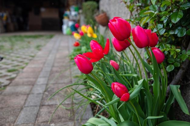 Posadzone czerwone tulipany kwitnące w sezonie. zbliżenie na kolorowe kwiaty w ogrodzie na świeżym powietrzu.
