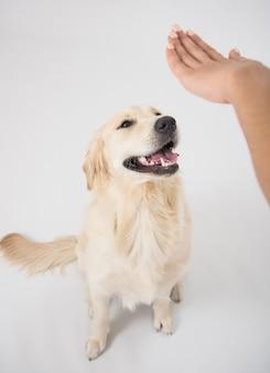 Posłuszny pies golden retriever z właścicielem ćwiczącym komendę siad.