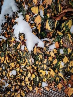 Pospolity bluszcz, hedera helix w zimie pod śniegiem