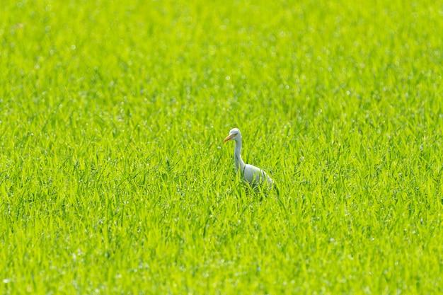 Pospolity egret w tajlandia ryżu polu