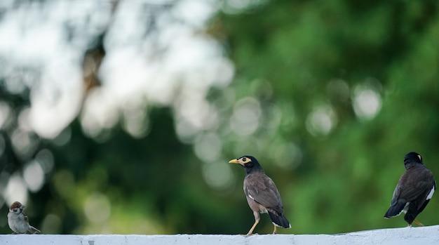 Pospolity myna ptak na zielonym tle (mynas)