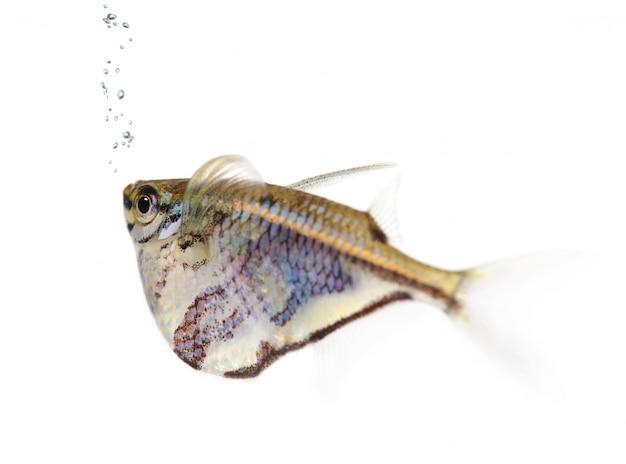 Pospolity siekierka - gasteropelecus sternicla na bielu odizolowywającym